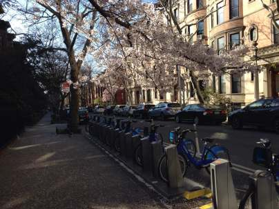 Bikes we rode across Brooklyn - Cherry Blossoms in full bloom